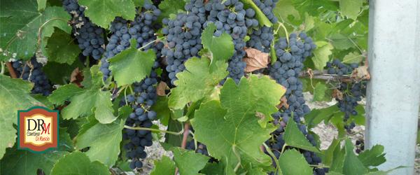 Cantina Di Ruscio e l'Uva