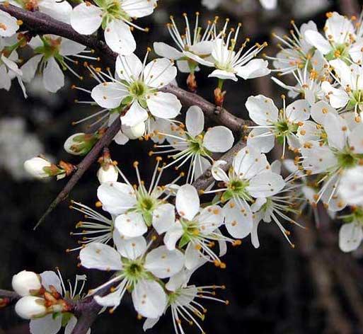 prugnolo selvatico in fiore
